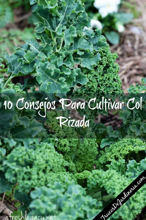 Cultivar Col Rizada
