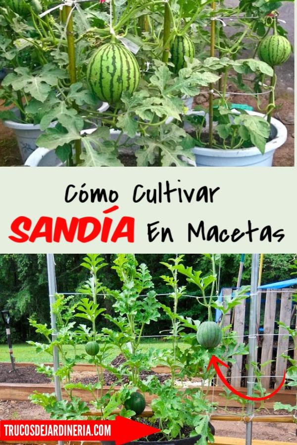 Cultivar Sandía En Macetas