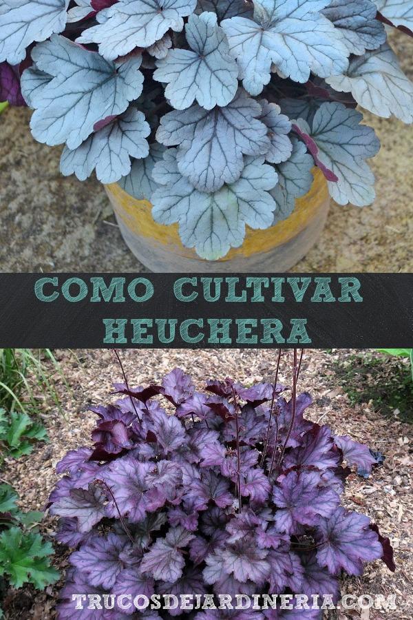 Cultivar Campanillas De Coral