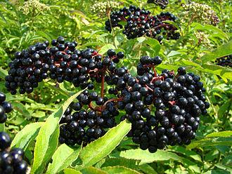 bayas elderberry