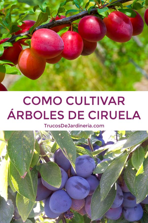 CULTIVAR ÁRBOLES DE CIRUELA