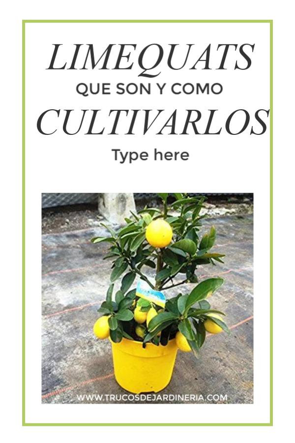 Cultivar Árboles De Limequat