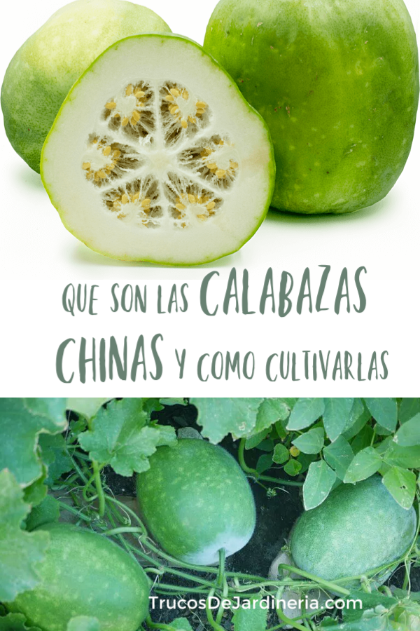 Cultivar Calabaza China