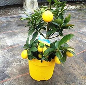 arbol de limequat