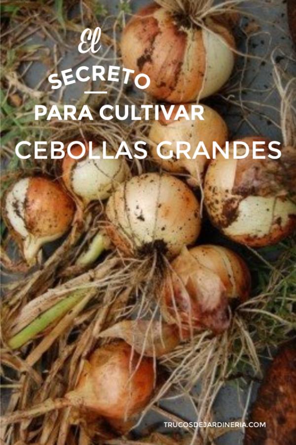 cultivar cebollas grandes