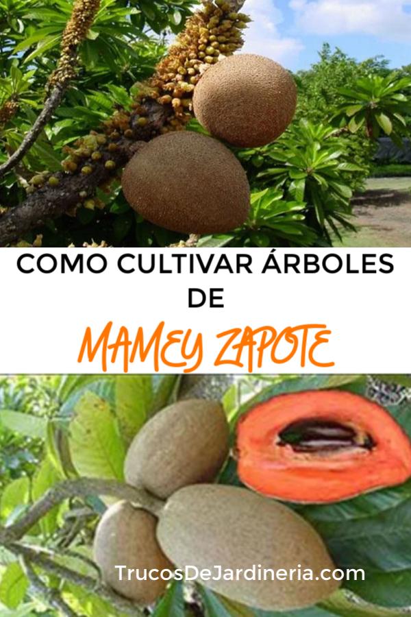 cultivar un árbol de mamey zapote