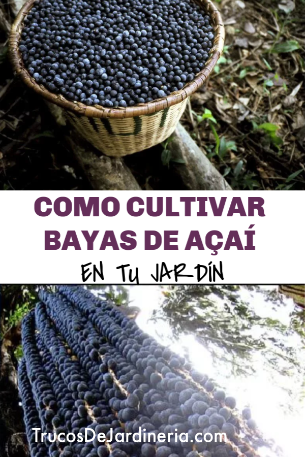 cultivar bayas de açaí