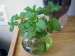 7 Hierbas Que Crecen En Agua