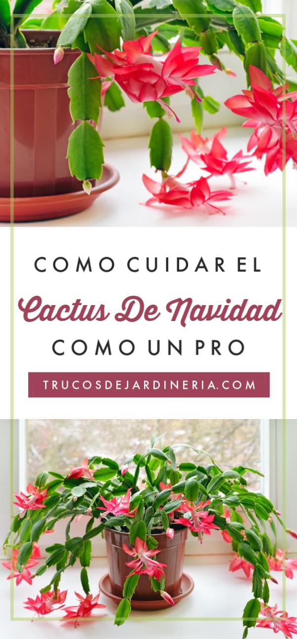 ¡Aprende cómo cuidar los cactus de Navidad con esta guía de jardinería fácil de seguir y tendrás una hermosa y floreciente planta justo a tiempo para las vacaciones!