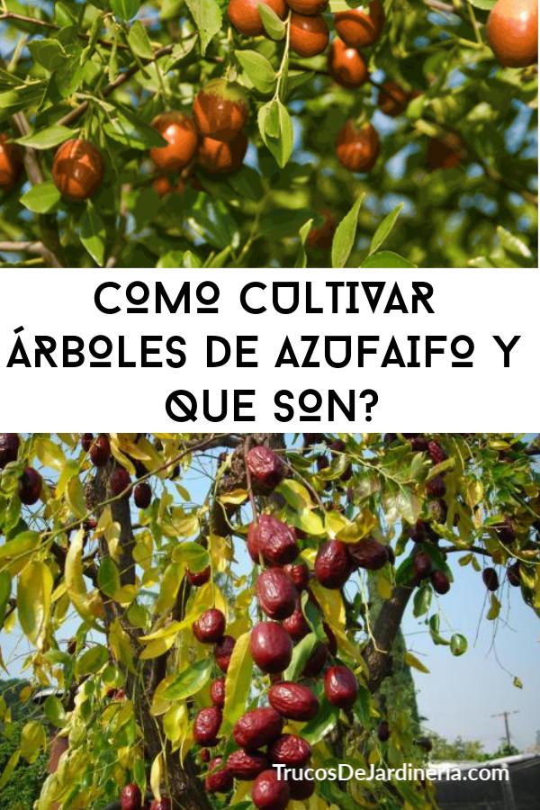 CULTIVAR ÁRBOLES DE AZUFAIFO