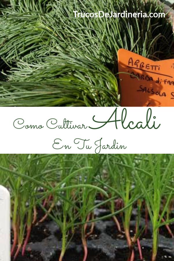 Como Cultivar Alcali