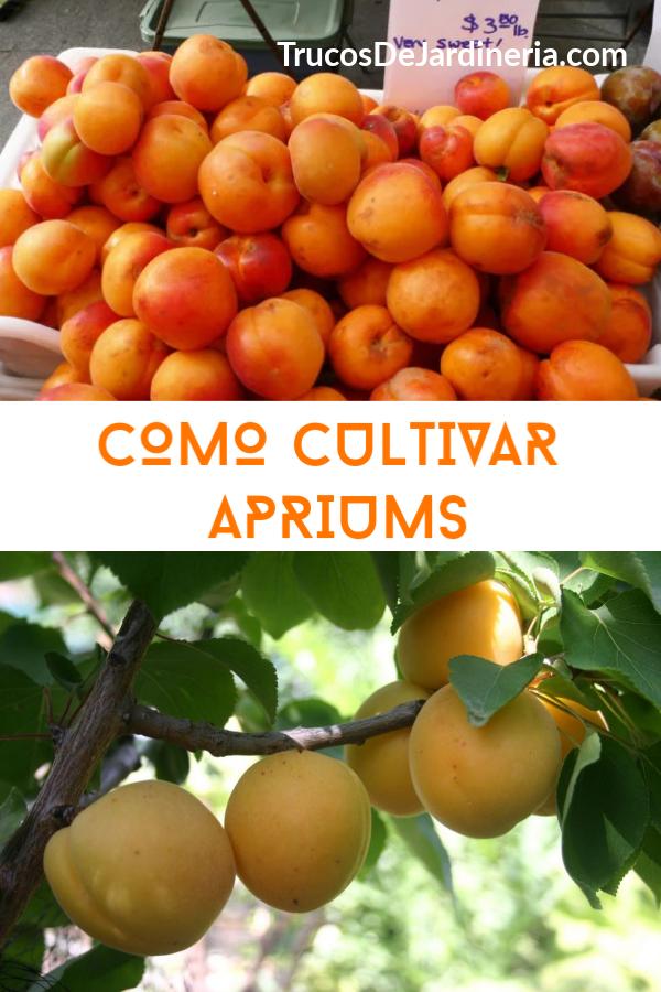 Como Cultivar Apriums