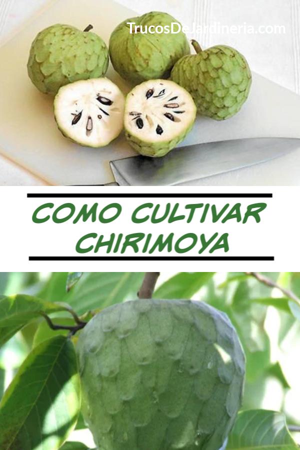 Como Cultivar Chirimoya