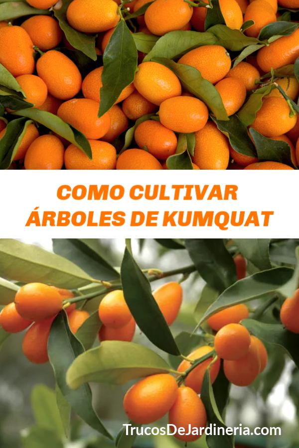Como Cultivar Kumquats