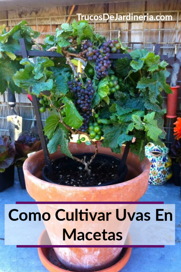 Cultivar Uvas En Macetas