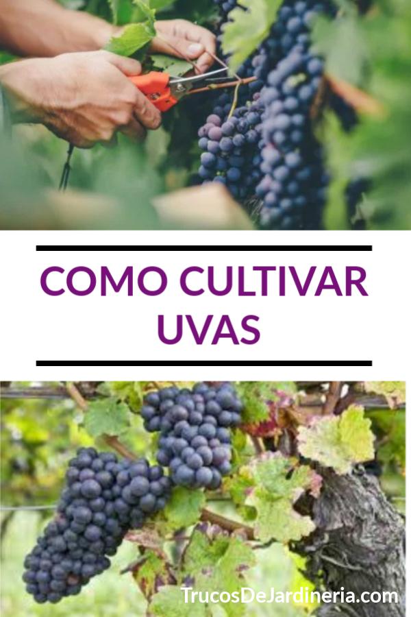 Como Cultivar Uvas