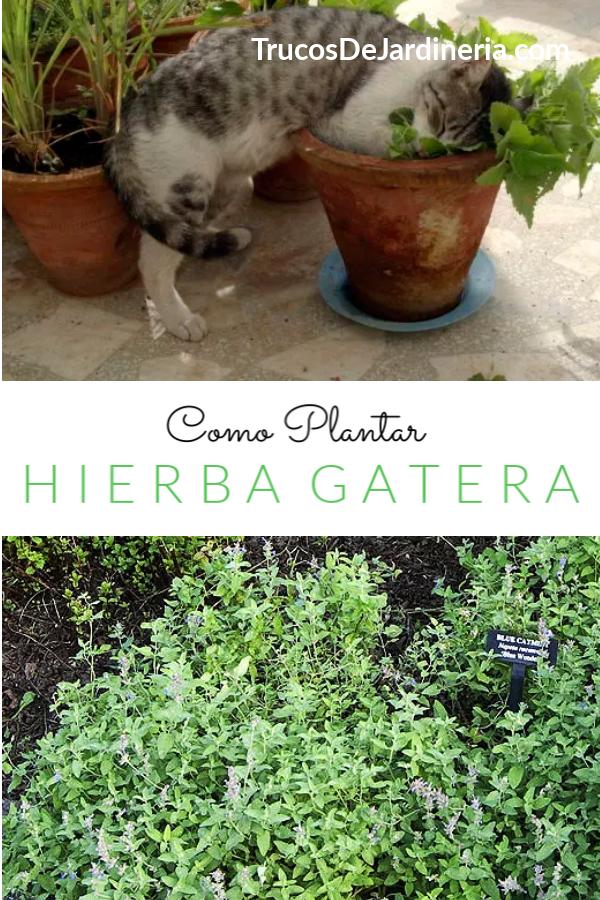 Como Plantar Hierba Gatera