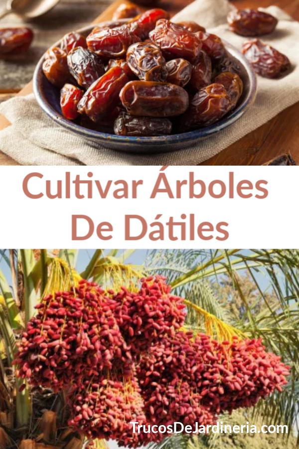 Cultivar Árboles De Dátiles