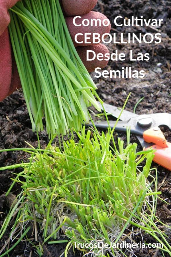 Cultivar Cebollinos Desde Las Semillas