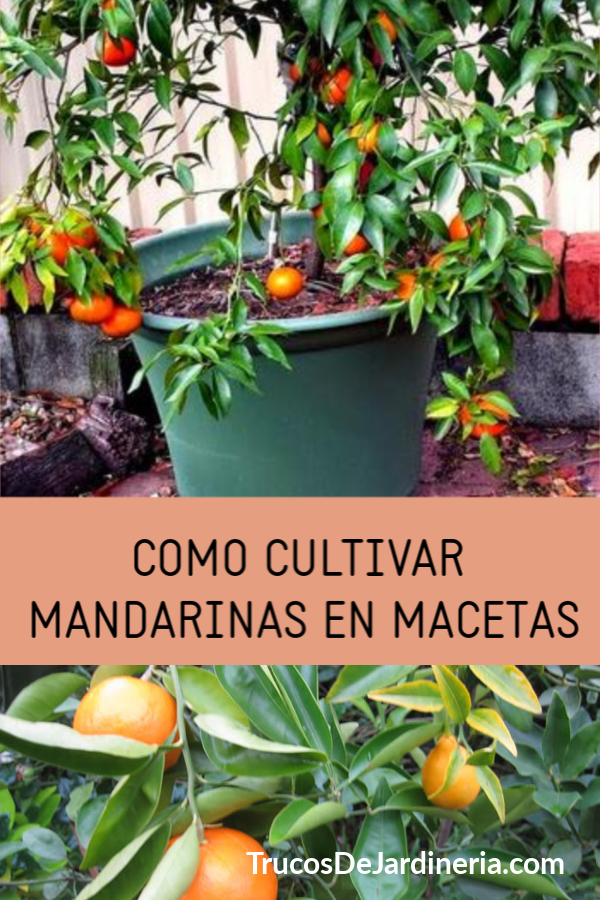Cultivar Mandarinas En Macetas