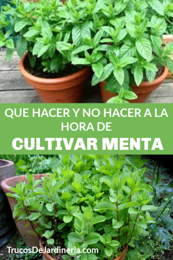 Cultivar Menta