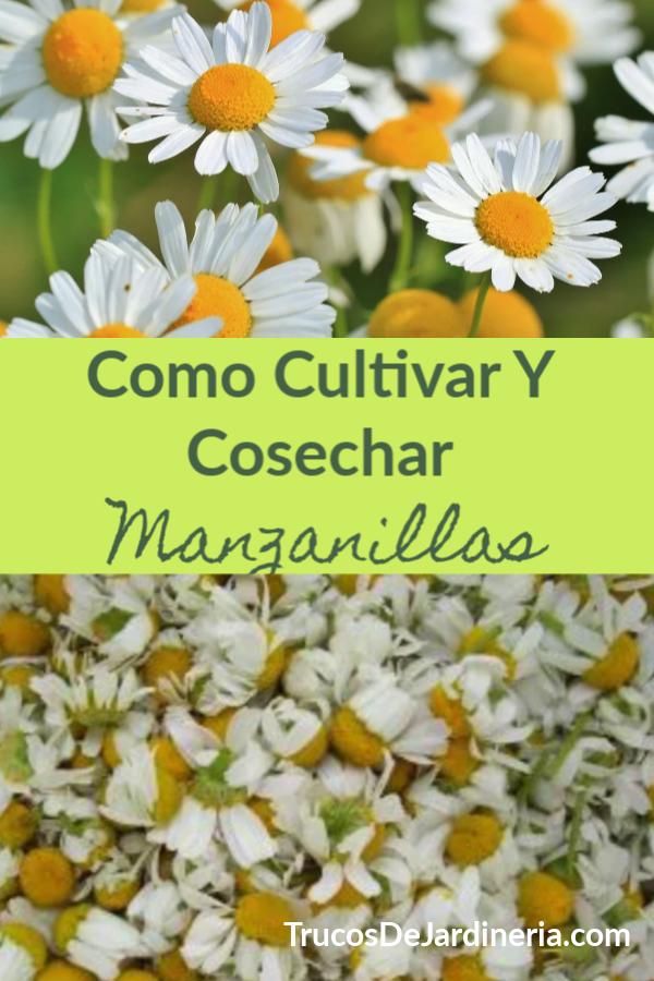 Cultivar Y Cosechar Manzanilla