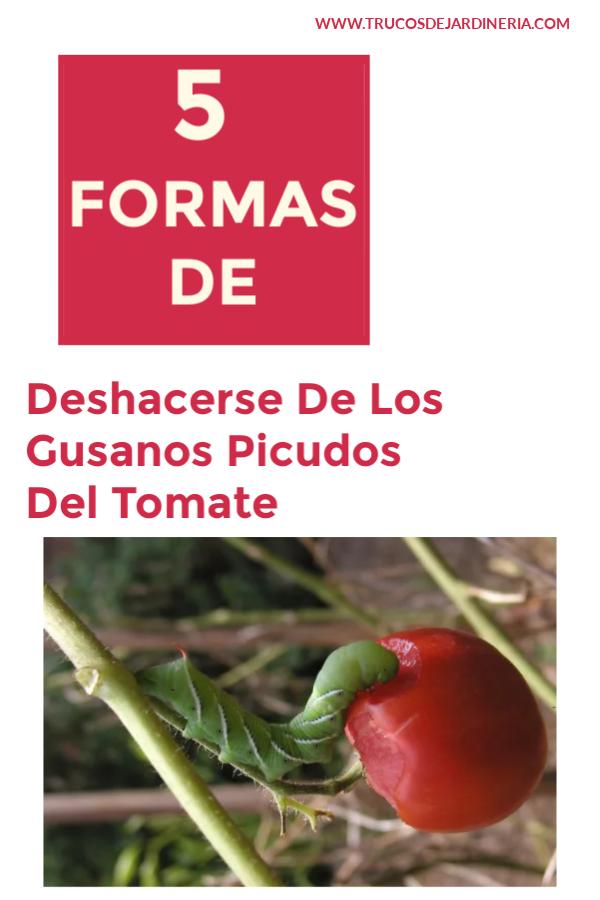 Deshacerse De Los Gusanos Picudos Del Tomate