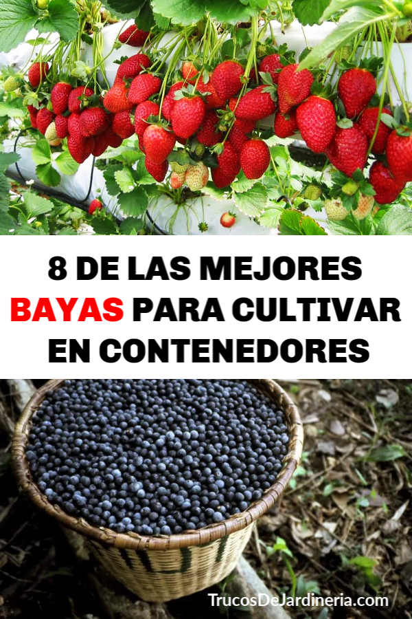 MEJORES BAYAS PARA CULTIVAR EN CONTENEDORES