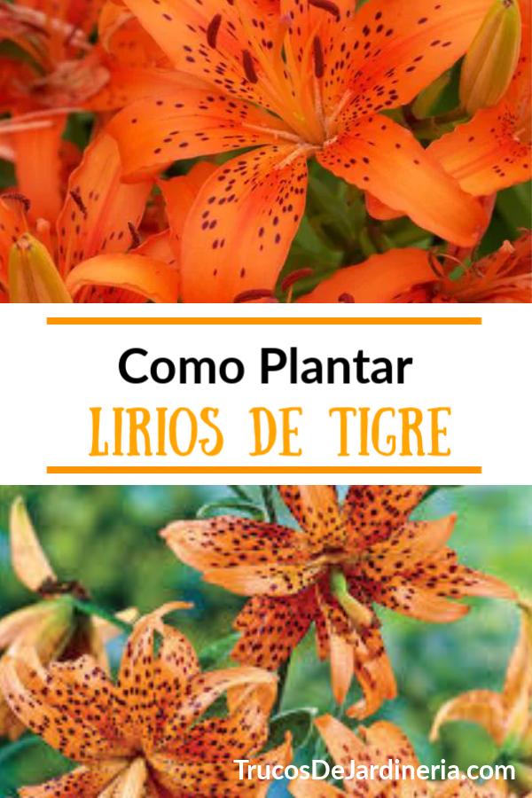 Plantar Lirios De Tigre