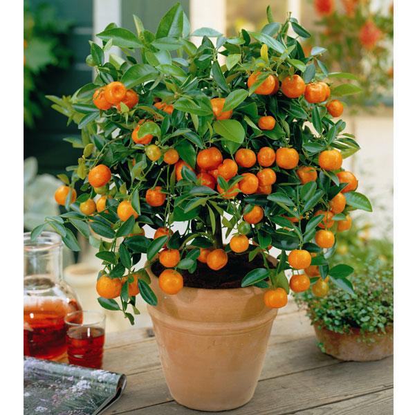 Como Cultivar árboles De Naranja En Macetas Trucos De Jardineria