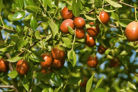 arbole de azufaifo