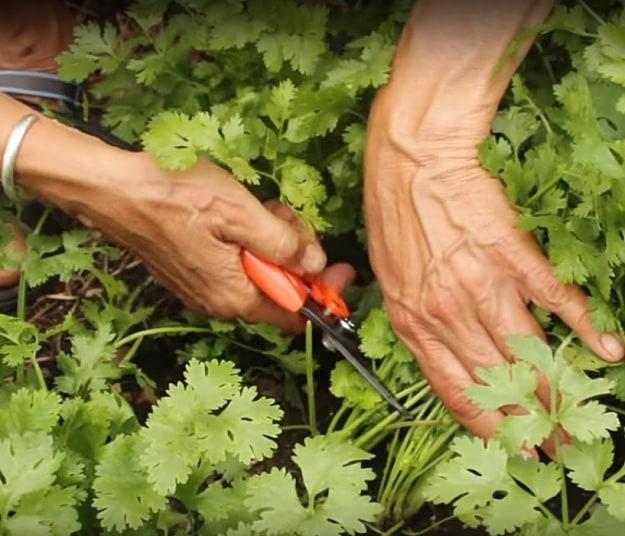 cilantro growth