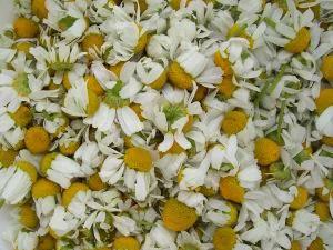 cosechar manzanilla