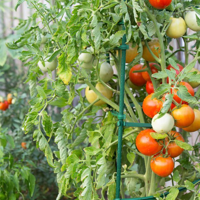 estaca de tomate