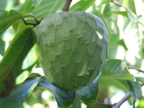fruta de chirimoya