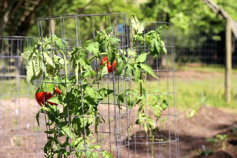 juala de tomate