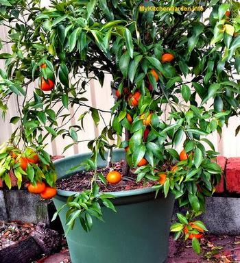 mandarinas en macetas