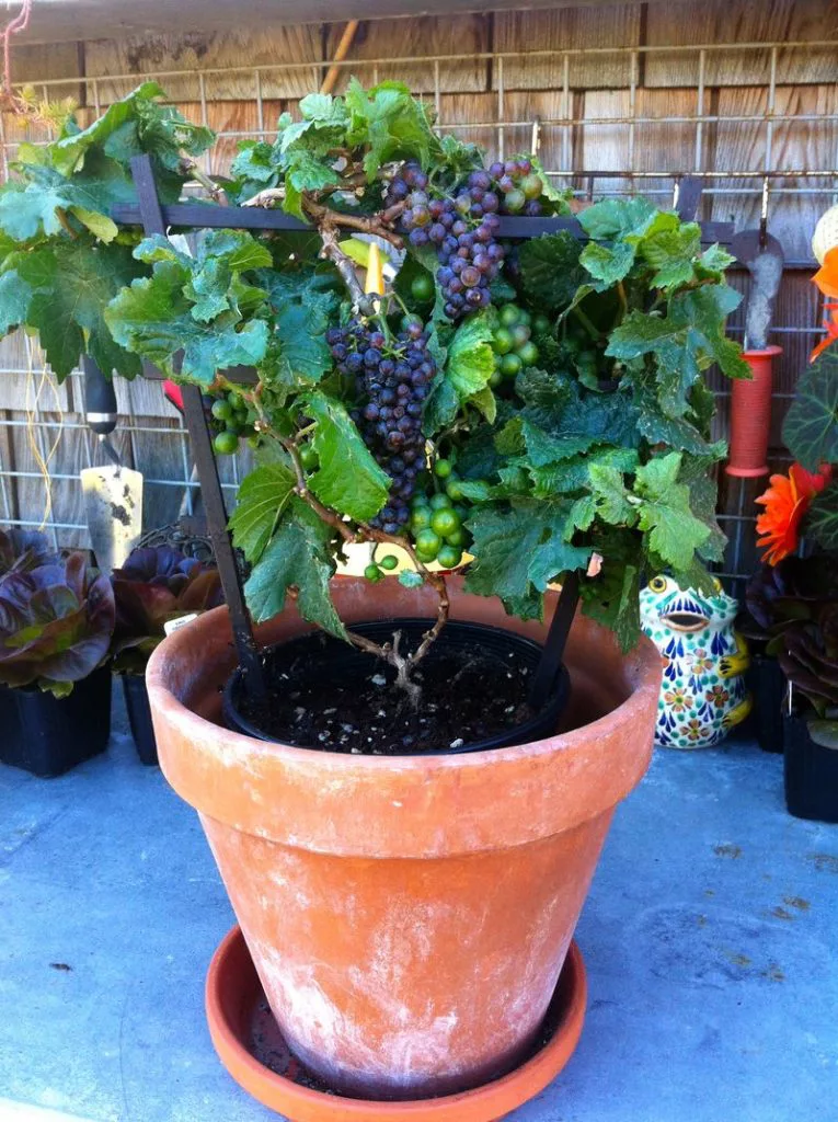 uvas en macetas