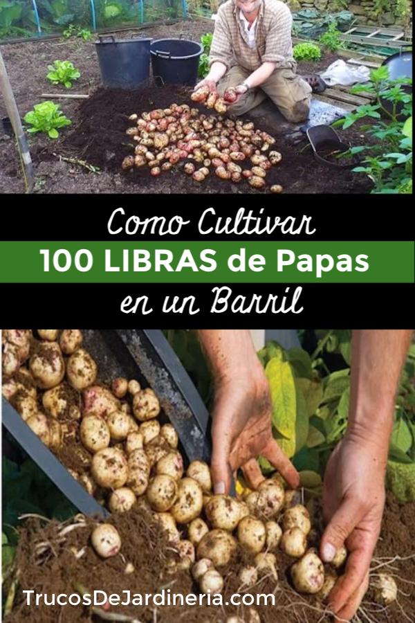 cultivar cien libras de papas