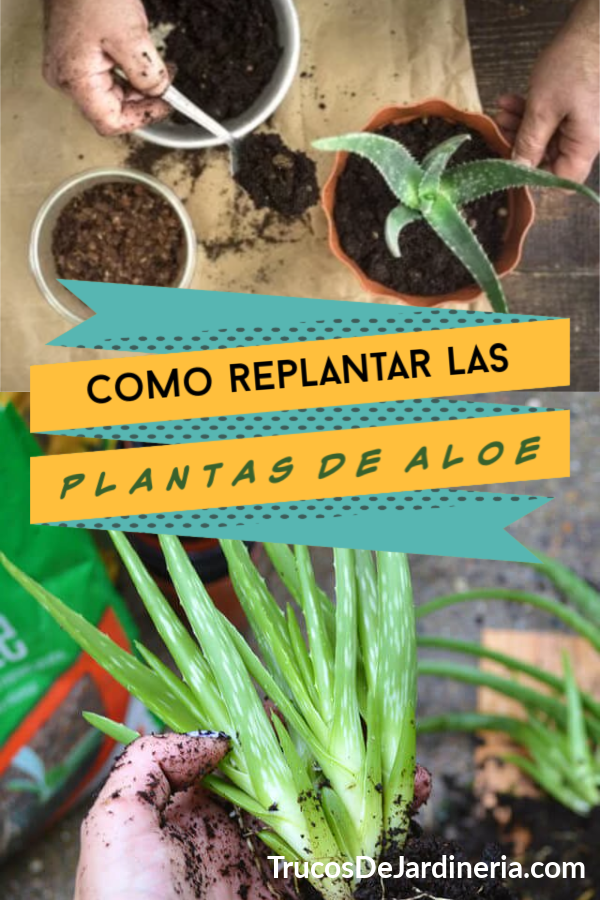Replantar Plantas de Áloe