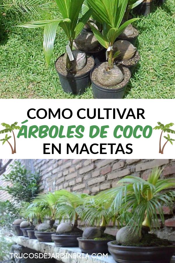CULTIVAR ÁRBOLES DE COCO EN MACETAS