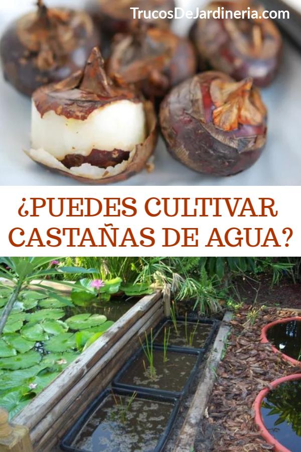 CULTIVAR CASTAÑAS DE AGUA