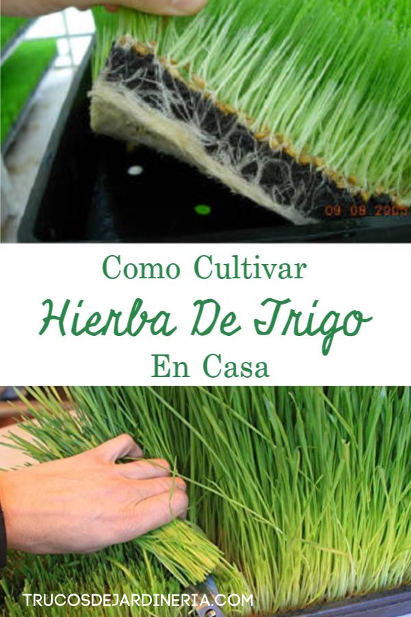 CULTIVAR HIERBA DE TRIGO EN CASA