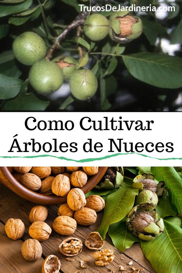 Como Cultivar Árboles de Nueces