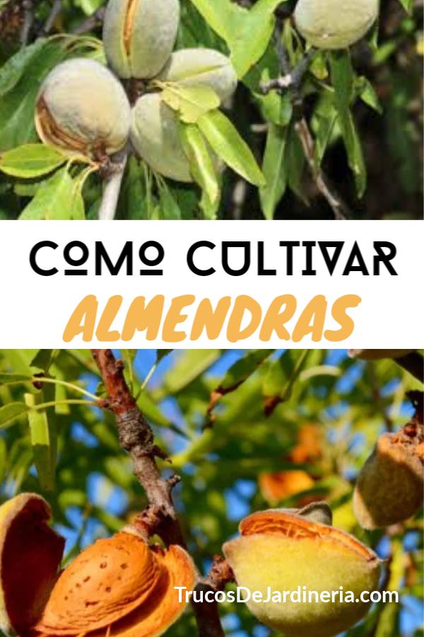 Como Cultivar Almendras