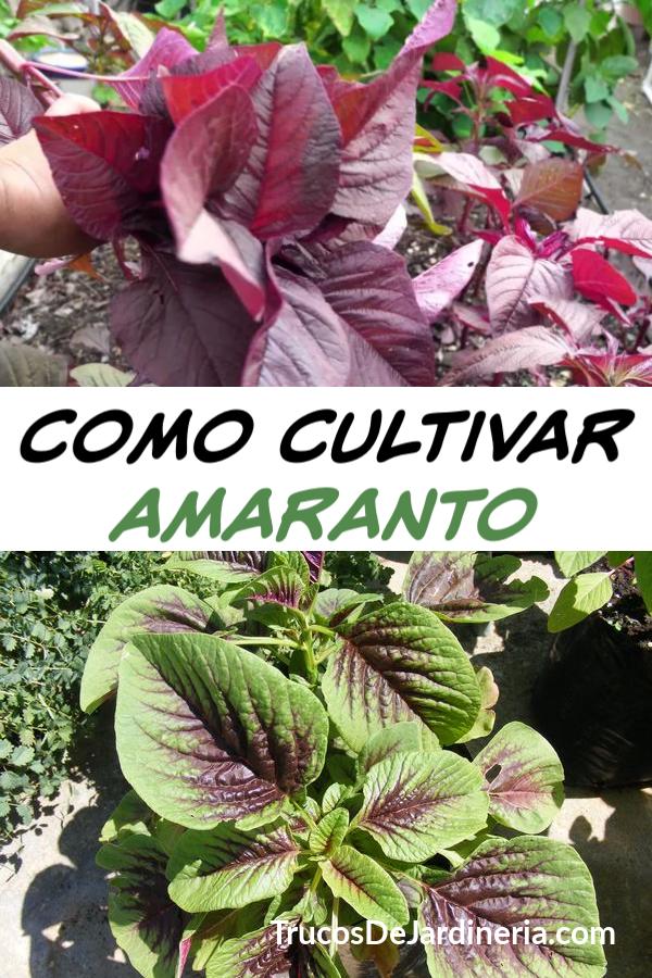 Como Cultivar Amaranto