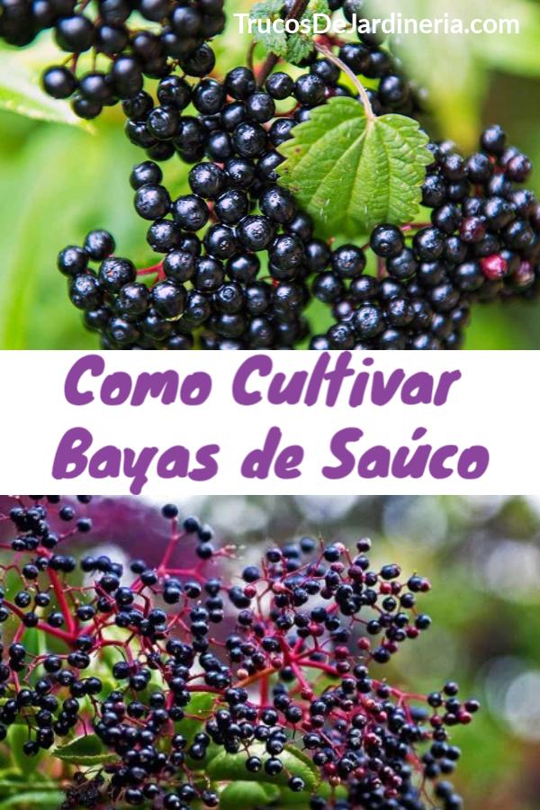 Como Cultivar Bayas de Saúco