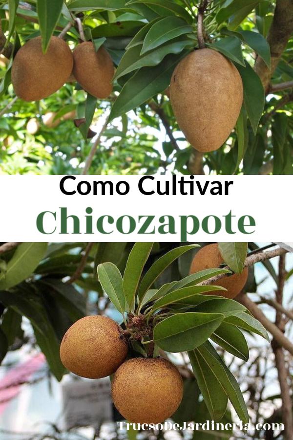 Como Cultivar Chicozapote