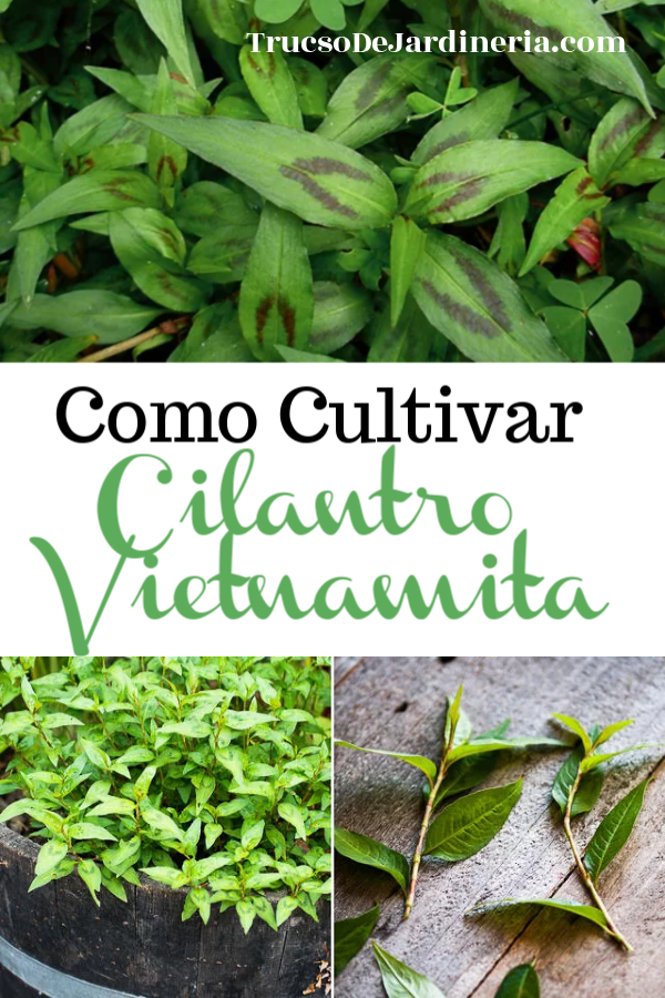 Como Cultivar Cilantro Vietnamita