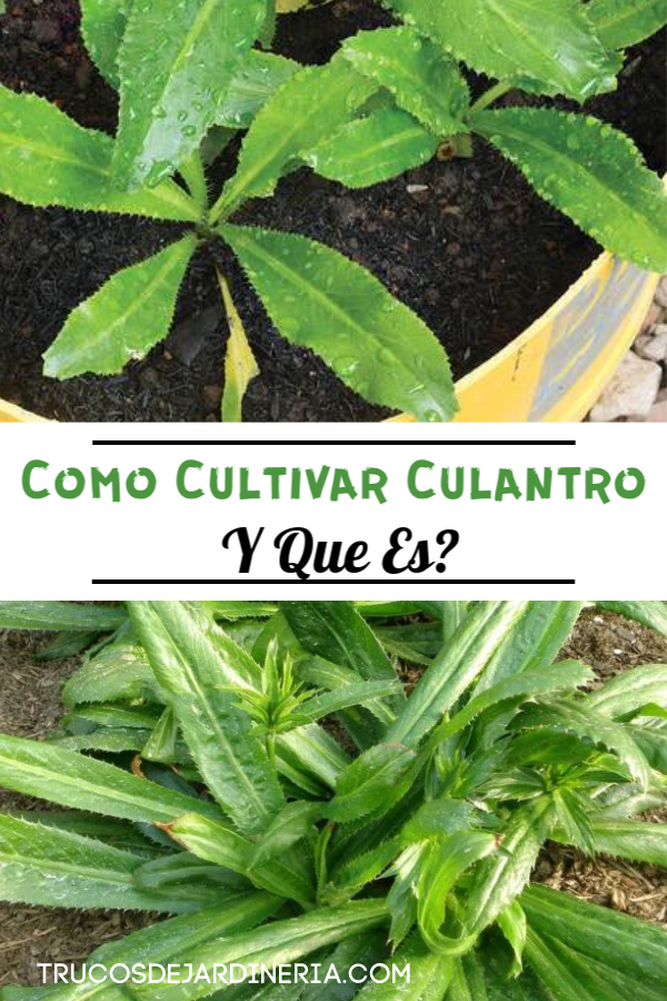 Como Cultivar Culantro